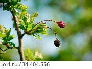 Weißdorn im Frühling mit Früchten aus dem Vorjahr. Стоковое фото, фотограф Zoonar.com/Heiko Kueverling / easy Fotostock / Фотобанк Лори