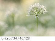 Wild garlic (Allium ursinum) close-up, Combe Valley, Cornwall, UK. May. Стоковое фото, фотограф Ross Hoddinott / Nature Picture Library / Фотобанк Лори