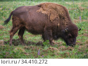 Grazing adult bison close up on a sunny summer day. Стоковое фото, фотограф Виктор Карасев / Фотобанк Лори