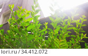 shrub or tree branches with green leaves at garden. Стоковое видео, видеограф Syda Productions / Фотобанк Лори