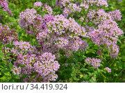 Душица обыкновенная, или орегано (лат. Origanum vulgare) цветет в летнем саду. Стоковое фото, фотограф Елена Коромыслова / Фотобанк Лори