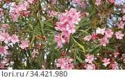 Close-up blossoming of oleander flowers in the spring, outdoor. Стоковое видео, видеограф Яков Филимонов / Фотобанк Лори