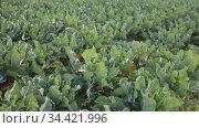 Cabbage growing on summer garden bed at farm. Стоковое видео, видеограф Яков Филимонов / Фотобанк Лори
