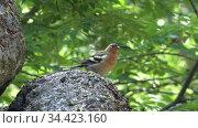 Video of bird chaffinch (Fringilla coelebs), sitting on stone in the forest. Стоковое видео, видеограф Serg Zastavkin / Фотобанк Лори