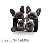 Couple of french bulldog dogs in love taking a selfie together, isolated... Стоковое фото, фотограф Zoonar.com/Javier Brosch / age Fotostock / Фотобанк Лори