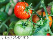 Frische Tomaten an einer Pflanze. Стоковое фото, фотограф Zoonar.com/Bernd Juergens / easy Fotostock / Фотобанк Лори