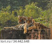 Bengal tiger (Panthera tigris) cubs age 10 months,  Ranthambhore, India. Стоковое фото, фотограф Andy Rouse / Nature Picture Library / Фотобанк Лори