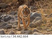 Bengal tiger (Panthera tigris) tigress 'Noori' walking Ranthambhore, India. Стоковое фото, фотограф Andy Rouse / Nature Picture Library / Фотобанк Лори