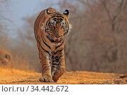 RF - Bengal tiger (Panthera tigris) tigress 'Arrowhead&amp... Стоковое фото, фотограф Andy Rouse / Nature Picture Library / Фотобанк Лори