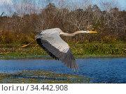 Great blue heron (Ardea herodias) flying over freshwater marsh; Lakeland, Florida, USA. December. Стоковое фото, фотограф Lynn M. Stone / Nature Picture Library / Фотобанк Лори
