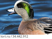 American wigeon (Anas americana) in breeding plumage, drake wintering on Chesapeake Bay, Maryland, USA. February. Стоковое фото, фотограф Lynn M. Stone / Nature Picture Library / Фотобанк Лори