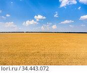 Agriculturally used areas with yellow ripe wheat, sunny day with blue sky, panorama. Стоковое фото, фотограф Кекяляйнен Андрей / Фотобанк Лори