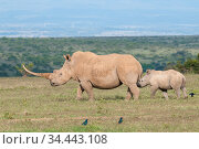 White rhinoceros (Ceratotherium simum) with unusually shaped horn, Solio Game Reserve, Laikipia, Kenya. September. Стоковое фото, фотограф Tui De Roy / Nature Picture Library / Фотобанк Лори
