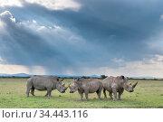 Three White rhinoceroses (Ceratotherium simum), Solio Game Reserve... Стоковое фото, фотограф Tui De Roy / Nature Picture Library / Фотобанк Лори