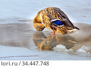 A duck stands in a puddle in a frozen lake and plucks out its feathers on a sunny day. Стоковое фото, фотограф Акиньшин Владимир / Фотобанк Лори