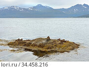 Common eider (Somateria mollissima). Family with ducklings on small island against backdrop of magnificent mountains. Norway. Стоковое фото, фотограф Валерия Попова / Фотобанк Лори