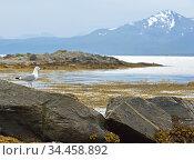 Northern landscape with European herring gull (Larus argentatus). Rocky coast in Tromso. Norway (2016 год). Стоковое фото, фотограф Валерия Попова / Фотобанк Лори
