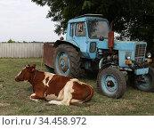 Трактор Беларус и корова. Редакционное фото, фотограф Цветкова Елена / Фотобанк Лори