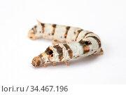 A silkworm on an isolated background. Стоковое фото, фотограф Zoonar.com/Chris Putnam / easy Fotostock / Фотобанк Лори
