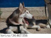 Mammal race dog purebred husky. Стоковое фото, фотограф Яна Королёва / Фотобанк Лори