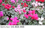 Closeup of colorful blooming cyclamens grown in pots in greenhouse on background of foliage greenery. Стоковое видео, видеограф Яков Филимонов / Фотобанк Лори