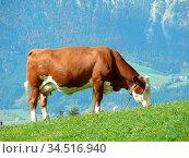 Kuh, kühe, rind, tier, tiere, nutztier, nutztiere, landwirtschaft... Стоковое фото, фотограф Zoonar.com/Volker Rauch / easy Fotostock / Фотобанк Лори