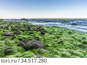 Algae and stones on the shores of the Baltic Sea. Стоковое фото, фотограф Дмитрий Тищенко / Фотобанк Лори