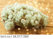 close up of reindeer lichen moss. Стоковое фото, фотограф Syda Productions / Фотобанк Лори