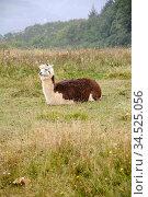 Lama, tier, säugetier, zoologie, kamel, Lama glama, glama, deutschland... Стоковое фото, фотограф Zoonar.com/Volker Rauch / easy Fotostock / Фотобанк Лори