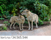 Family of Eurasian wolves (Canis lupus lupus) in forest. Стоковое фото, фотограф Валерия Попова / Фотобанк Лори