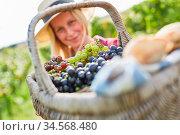 Picknick Korb voll mit weißen und roten Weintrauben bei der Traubenlese. Стоковое фото, фотограф Zoonar.com/Robert Kneschke / age Fotostock / Фотобанк Лори