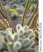 Teddy bear cholla cactus (Cylindropuntia bigelovii) with Ocotillo (Fouquieria splendens) and flowering Brittlebush (Encelia farinosa) in background. Cabeza... Стоковое фото, фотограф Jack Dykinga / Nature Picture Library / Фотобанк Лори