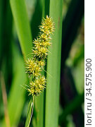 False fox-sedge (Carex otrubae). Hampton Court, Richmond Upon Thames, England, UK. June. Стоковое фото, фотограф Linda Pitkin / Nature Picture Library / Фотобанк Лори