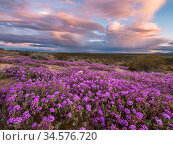 Sand verbena (Abronia villosa) on Mohawk Dunes under stormy evening sky. Barry M Goldwater Air Force Range, Arizona, USA. March 2020. Стоковое фото, фотограф Jack Dykinga / Nature Picture Library / Фотобанк Лори