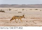 Black-backed jackal (Canis mesomelas) walking in Namib Desert. Skeleton Coast, Namibia. Стоковое фото, фотограф Doug Gimesy / Nature Picture Library / Фотобанк Лори