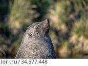 Antarctic fur seal (Arctocephalus gazella) basking in sun, portrait. Whistle Cove, Fortuna Bay, South Georgia. November. Стоковое фото, фотограф Doug Gimesy / Nature Picture Library / Фотобанк Лори