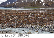 King penguin (Aptenodytes patagonicus) colony with adults and chicks, on land between sea and river.  St Andrews Bay, South Georgia. November 2012. Стоковое фото, фотограф Doug Gimesy / Nature Picture Library / Фотобанк Лори