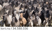 Dulmen pony, wild herd of mares and foals running together at the roundup. Dulmen, North Rhine-Westphalia, Germany. Стоковое фото, фотограф Carol Walker / Nature Picture Library / Фотобанк Лори