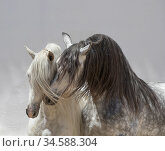 Andalusian horse, two stallions coming together in arena one dappled grey and one pure white. Spain. Стоковое фото, фотограф Carol Walker / Nature Picture Library / Фотобанк Лори