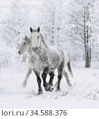 Percheron horses, two including one dappled grey walking through snow, frosty trees in background. Alberta, Canada. February. Стоковое фото, фотограф Carol Walker / Nature Picture Library / Фотобанк Лори