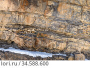RF - Elderly male snow leopard (Panthera uncia) stalking Siberian ibex (Capra sp.). Spiti Valley, Himachal Pradesh, northern India. (This image may be... Стоковое фото, фотограф Nick Garbutt / Nature Picture Library / Фотобанк Лори