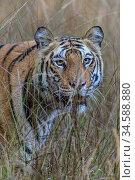 Bengal tiger (Panthera tigris tigris) female walking through tall grassland. Bandhavgarh National Park, Madhya Pradesh, Central India. Стоковое фото, фотограф Nick Garbutt / Nature Picture Library / Фотобанк Лори
