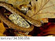 Viperine snake (Natrix maura). Rubillon's Lagoon. Sierra do Suido... Стоковое фото, фотограф Marevision / age Fotostock / Фотобанк Лори