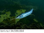 Atlantic Saury (Scomberesox saurus). Eastern Atlantic. Galicia. Spain... Стоковое фото, фотограф Marevision / age Fotostock / Фотобанк Лори