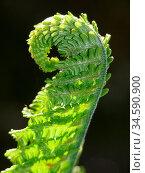 Farn, farnwedel, frühling, frühjahr, wachstum, wachsen, grün, botanik... Стоковое фото, фотограф Zoonar.com/Volker Rauch / easy Fotostock / Фотобанк Лори