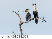 White-breasted cormorant (Phalacrocorax lucidus), two with open beaks, perched on tree snag. Bao Bolong Wetland Reserve, Gambia. Стоковое фото, фотограф Bernard Castelein / Nature Picture Library / Фотобанк Лори