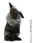 Black Lionhead rabbit standing up. Стоковое фото, фотограф Mark Taylor / Nature Picture Library / Фотобанк Лори