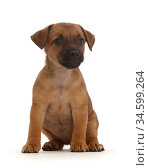 Brown Jack Russell x Border Terrier puppy, sitting. Стоковое фото, фотограф Mark Taylor / Nature Picture Library / Фотобанк Лори