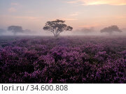 Blooming Heather fields, purple pink heather in bloom, blooming heater... Стоковое фото, фотограф Zoonar.com/Fokke Baarssen / age Fotostock / Фотобанк Лори
