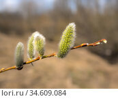 Willow branch with green buds. Стоковое фото, фотограф Argument / Фотобанк Лори